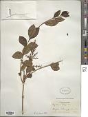 view Ligustrum lucidum W.T. Aiton digital asset number 1