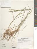 view Elymus trachycaulus subsp. glaucus digital asset number 1