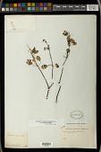 view Euphorbia schlechtendalii Boiss. digital asset number 1