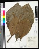 view Artocarpus odoratissimus Blanco digital asset number 1