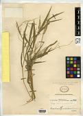 view Panicum radicans Llanos digital asset number 1