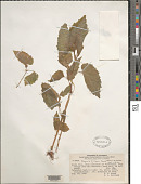 view Begonia filipes Benth. digital asset number 1