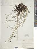 view Carex juncella (Fr.) Th. Fr. digital asset number 1