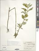view Borreria latifolia (Aubl.) K. Schum. digital asset number 1