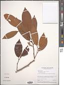 view Otoba acuminata (Standl.) A.H. Gentry digital asset number 1