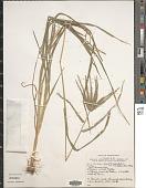 view Eleusine indica (L.) Gaertn. digital asset number 1