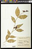 view Aeschynanthus obconicus C.B. Clarke digital asset number 1