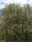 view Photinia pyrifolia (Lam.) K.R. Robertson & J.B. Phipps digital asset number 1