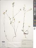 view Pachypterygium stocksii (Boiss.) Hedge digital asset number 1