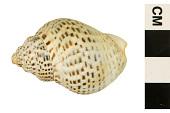 view Speckled Whelk digital asset number 1