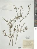 view Lavandula pubescens Decne. digital asset number 1