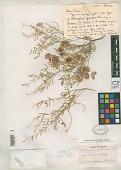 view Astragalus fucatus Barneby digital asset number 1