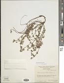 view Ottleya oroboides (Kunth) D.D. Sokoloff digital asset number 1