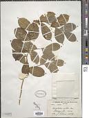 view Carpolobia alba G. Don digital asset number 1