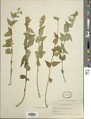view Brickelliastrum fendleri (A. Gray) R.M. King & H. Rob. digital asset number 1