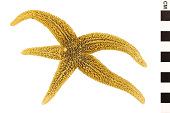 view Common Sea Star digital asset number 1