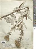 view Cirsium altissimum (L.) Spreng. digital asset number 1