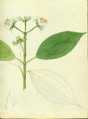 view Miconia mirabilis (Aubl.) L.O. Williams digital asset number 1
