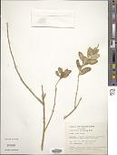 view Catharanthus roseus (L.) G. Don digital asset number 1