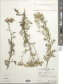 view Senecio lautus G. Forst. ex Willd. digital asset number 1