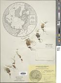 view Carex nardina (Hornem.) Fr. digital asset number 1
