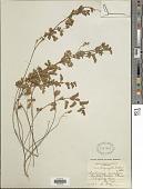 view Aeschynomene sparsiflora Baker digital asset number 1