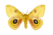 view Io Moth digital asset number 1