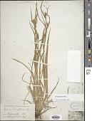 view Carex blanda Dewey digital asset number 1