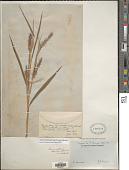 view Cenchrus bambusiformis (E. Fourn.) Morrone digital asset number 1