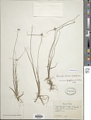 view Cyperus albescens (Steud.) Larridon & Govaerts digital asset number 1