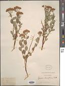 view Spiraea densiflora Nutt. ex Greenm. digital asset number 1