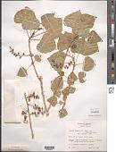 view Populus fremontii S. Watson digital asset number 1
