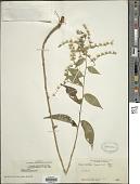 view Lepidaploa canescens (H.B.K.) H. Rob. digital asset number 1