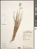 view Rytidosperma vestitum (Pilg.) Connor & Edgar digital asset number 1
