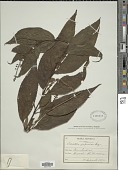 view Collinsonia japonica (Miq.) Harley digital asset number 1