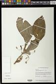 view Napeanthus rupicola Feuillet & L.E. Skog digital asset number 1