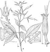 view Stenostephanus crenulatus var. longiflorus digital asset number 1