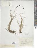view Carex microchaeta subsp. nesophila (Holm) D.F. Murray digital asset number 1