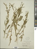 view Nicotiana attenuata Torr. ex S. Watson in C. King digital asset number 1
