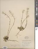 view Thlaspi fendleri subsp. glaucum digital asset number 1