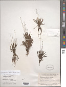 view Paepalanthus tortilis (Bong.) Koern. digital asset number 1