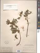 view Staphylea trifolia L. digital asset number 1