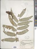 view Salpichlaena volubilis (Kaulf.) J. Sm. subsp. volubilis digital asset number 1