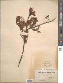 view Spiraea chinensis Maxim. digital asset number 1
