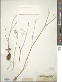 view Zeravschania aucheri (Boiss.) Pimenov digital asset number 1