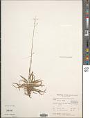 view Chrysopogon aciculatus (Retz.) Trin. digital asset number 1