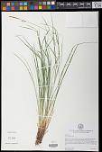 view Carex woodii Dewey digital asset number 1