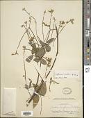 view Tephrosia simulans C.E. Wood digital asset number 1