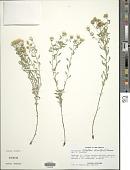 view Heterotheca villosa var. foliosa (Nutt.) V.L. Harms digital asset number 1