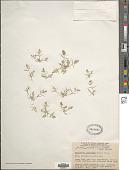 view Eragrostis hypnoides (Lam.) Britton, Stearns & Poggenb. digital asset number 1